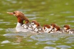 Common Mergansers. Photo: Lynn Cleveland/Audubon Photography Awards