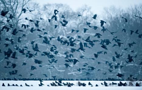 Murder of Crows. Photo credit: Audubon