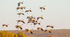 Sandhill Cranes. Photo: Tara Tanaka/Audubon Photography Awards