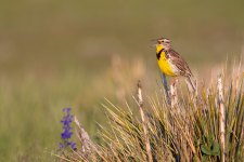 Western Meadowlark, Pronghorn Ranch, Wyoming, 18,000 acres enrolled in the Audubon Conservation Ranching Initiative. Photo: Evan Barrientos/Audubon
