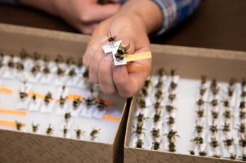 Davis holds a large Bombus (genus) queen and worker bee among his collection. Photo via Colorado State University