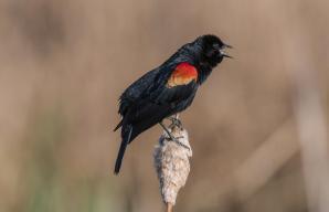 Red-winged Blackbird. Photo: Jake Mosher/Audubon Photography Awards