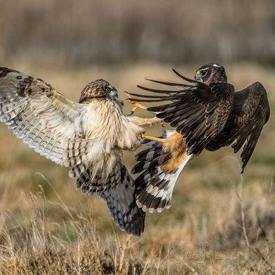 Short-eared Owl and Northern Harrier. Photo: Joseph F. Jasper/Audubon Photography Awards