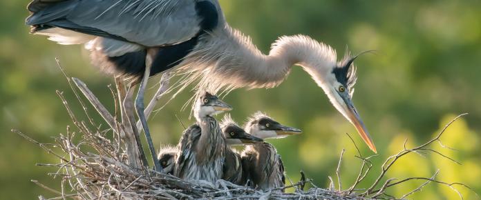 Great Blue Herons. Photo: Pamela Underhill Karaz/Audubon Photography Awards