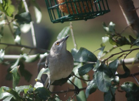 A Northern Mockingbird eyes the suet feeder