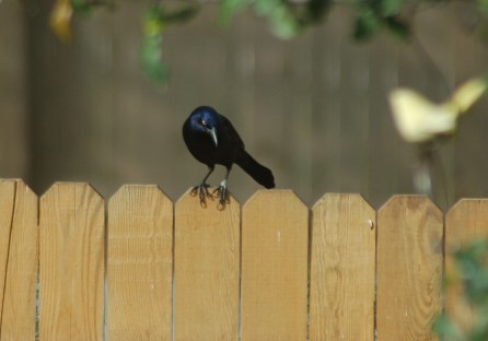 A grackle considering his options