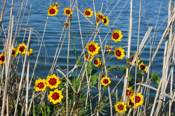 Plains Coreopsis (Golden Tickseed)