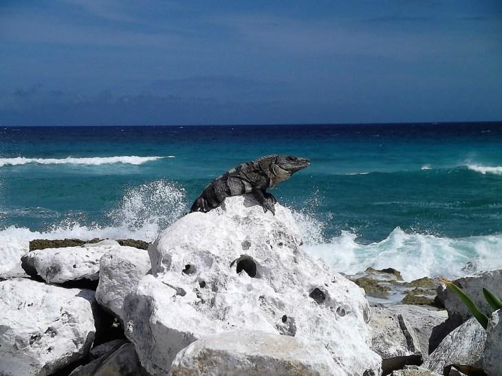 Cozumel east side iguana