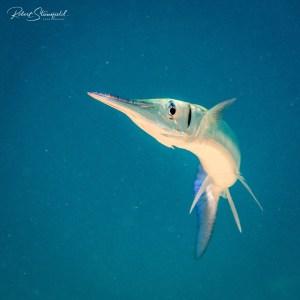 Needlefish while diving Cozumel.
