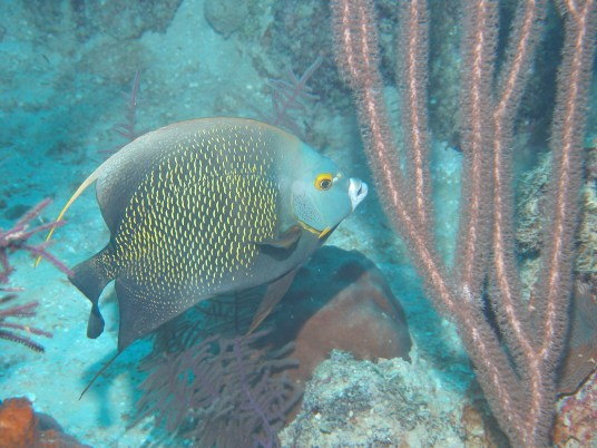 French Angelfish - Adult
