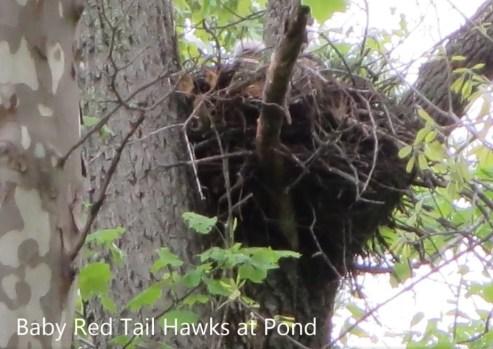 Cozy Hideaway Red Tail Hawks Nest