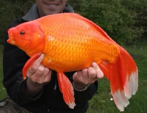 giant-goldfish-1