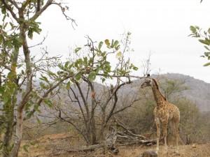knp_baby_giraffe_2015.jpg