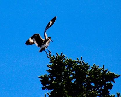 Fisher bird, NS