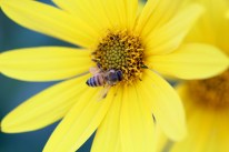 Honeybee on flower, Gorham, NH