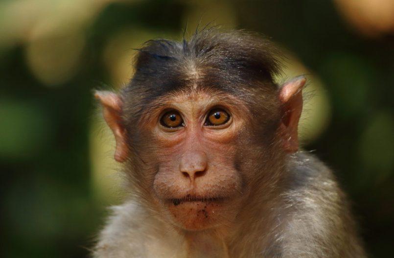 Des scientifiques ont augmenté le cerveau de singes