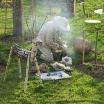 récolte d'un essaim d'abeilles (1)