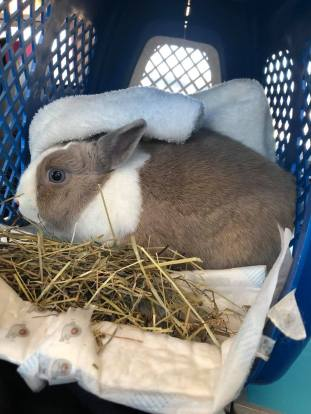tips to travel with a rabbit