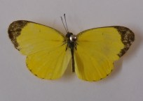small-grass-yellow-top-2