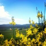 ginestre in fiore circondano le vigne distribuite in 400 ettari