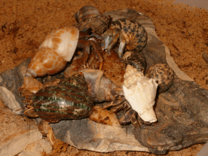 Hermit crabs devouring a piece of unseasoned steak-photo courtesy of Stacy Griffith
