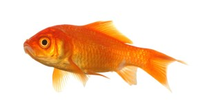 FAQ Are goldfish safe to feed to hermit crabs?