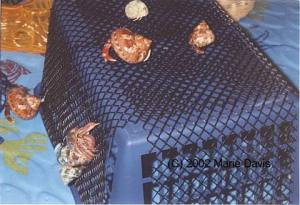 Hermit crabs climbing