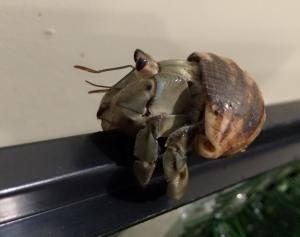 A hermit crab makes a quick escape Photo Credit Amber Miner