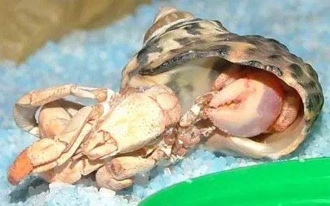 Sierra freshly molted by Connie