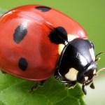 Can I put ladybugs in my crabitat?