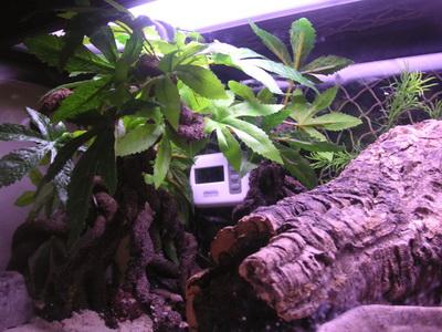 DIY Mangrove tree for hermit crab crabitat