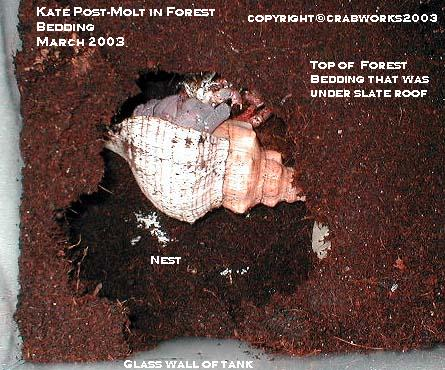 Crab Kate molting in forest bedding