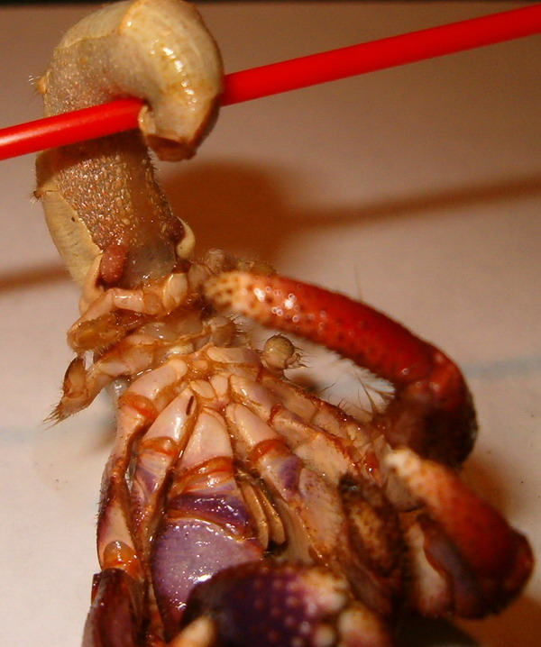 Coenobita abdomen and abdominal appendages