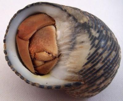 Coenobita cheliped pincer claw