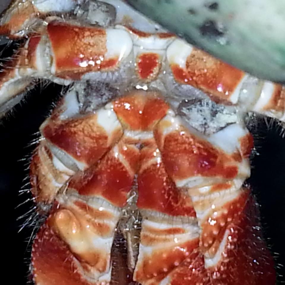 Male Hermit Crab -MelissaNesgoda