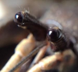 C. brevimanus eyes