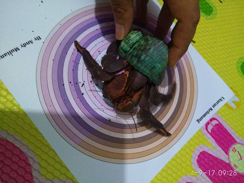 How to measure your hermit crab using the circle chart