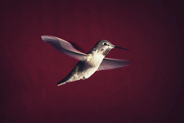Hummingbird soars
