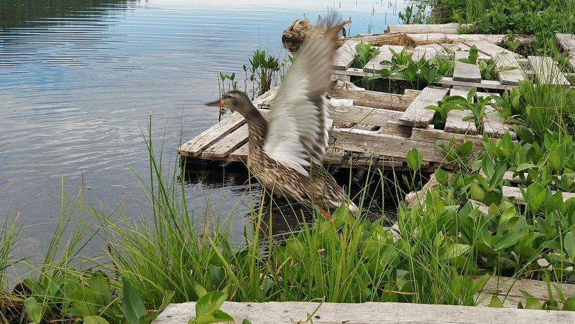 Winchell Lake Duck flying