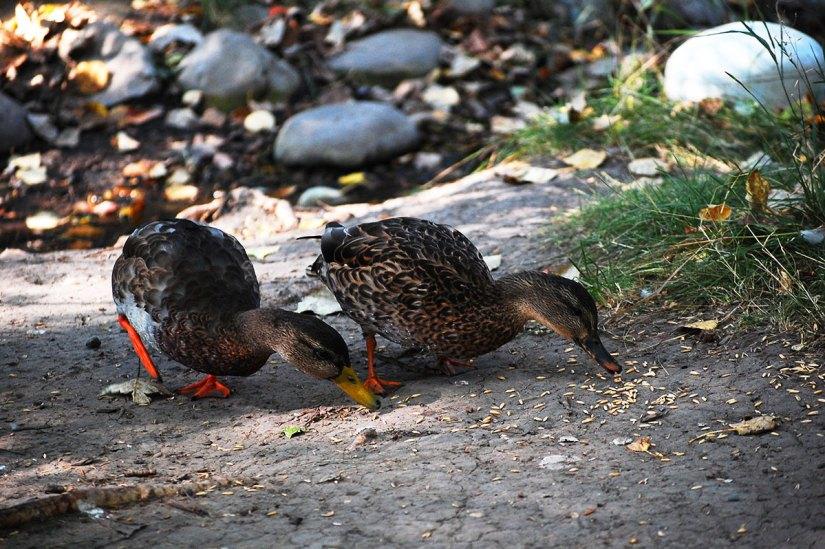Birds Prince's Island Ducks