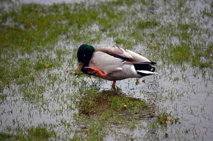Birds Prince's Island Duck