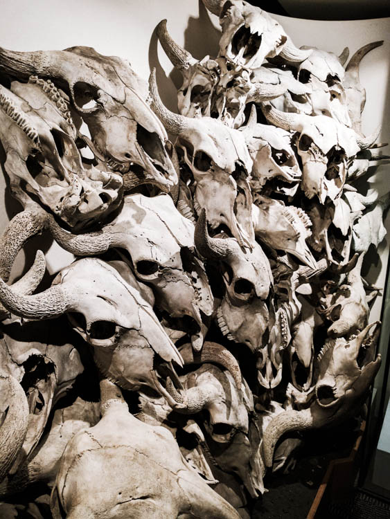 Head-Smashed-In Buffalo Jump Skulls