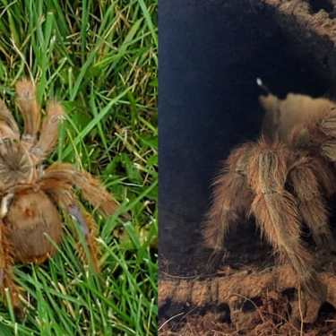 Someone Found An Abandoned Tarantula In Airdrie