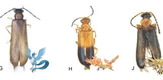 Three New Rare Species Of Australian Beetles Named After Legendary Bird Pokémon - Craffic