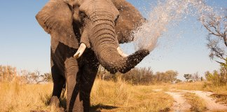 Elephants trunk inhale water at 330 mph even faster than Japan Rail Bullet Trian