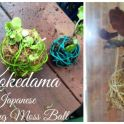 How to Make a Kokedama - Hanging Japanese Moss Balls