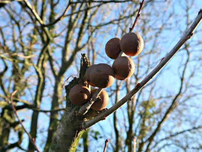 how to make oak gall ink craft invaders