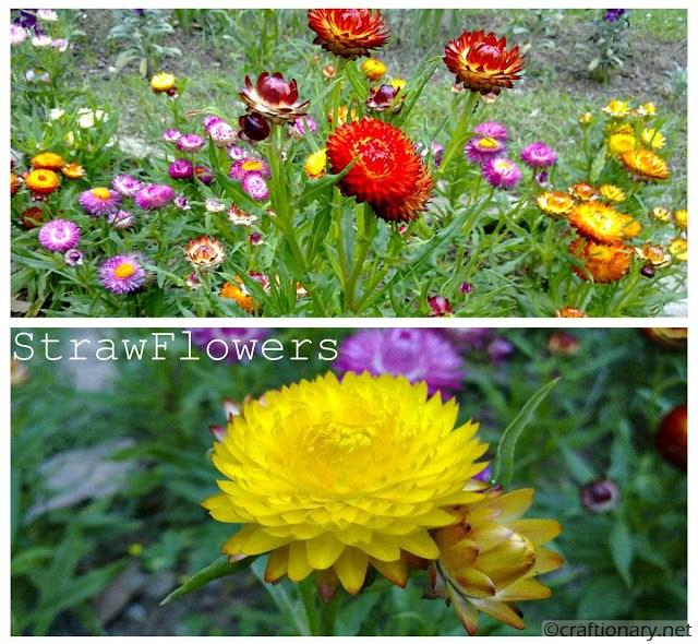 strawflowers-free-printable-wallpaper