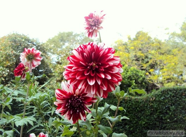 beautiful spring dahlia