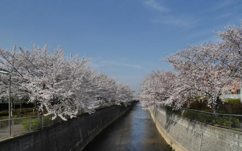 石神井川の桜